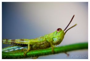 Little Grasshopper.. by pu3w1tch