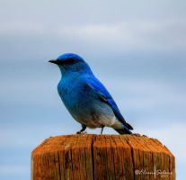 Mountain Bluebird Perching by ElaineSeleneStock