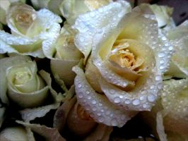 white roses in rain drops by April-Mo