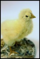 11.12.10 chick no 2 by ALEC22