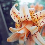 Tiger lily by Cattereia