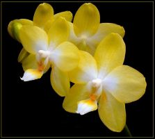 YELLOW ORCHIDS 6 by THOM-B-FOTO