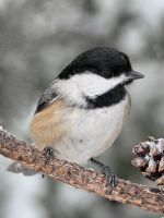 Black Capped Chickadee by papatheo