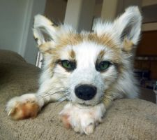 SunGlow Fox SOLD by Tricksters-Taxidermy