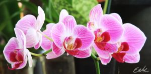 Very Pink Orchids by wolmers