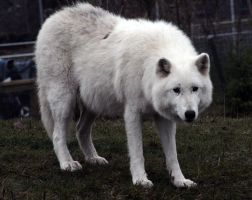 Animals - Arctic Wolf 5 by MoonsongStock