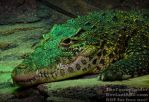 Cuban Crocodile - Crocodylus rhombifer by TheFunnySpider