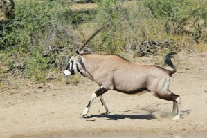 Oryx - African Wildlife - Blur of Speed and Muscle by LivingWild