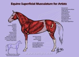 Equine Superficial Musculature by caligis
