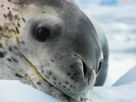 Leopard seal by ogima007