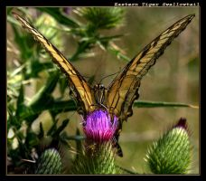 Eastern Tiger Swallowtail 10 by boron