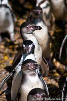 Penguins in Queue by amrodel