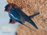 northern cliff swallow 02 by photom17