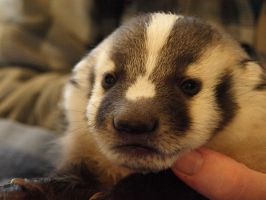 Baby Badger 3 by KodaSilverwing