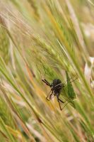 Wheat Spider by Visualiart