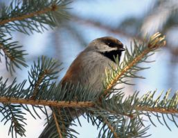 Boreal Chickadee by sgt-slaughter
