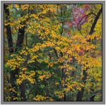 Yellow leaves. 800-2014, with story by harrietsfriend