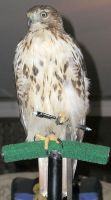 Red-tailed pen holder. by redtailhawker