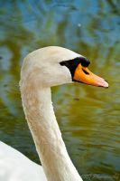 Mute Swan by Johnt6390