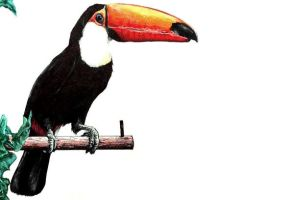 ANIMAL PROJECT - Toco Toucan (Ramphastos Toco) by mickytaka558