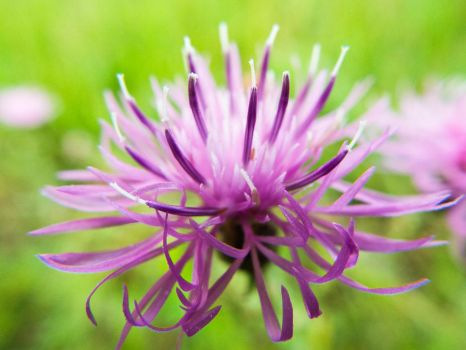 Spotted Knapweed by xxXKrystalSoulXxx