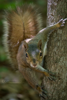 Squirrel 4 by IDR-DoMiNo
