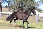 HH Andalusian black trot by Chunga-Stock