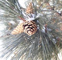 Pine Cone Family by dlockett17