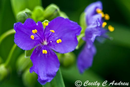 Tradescantia by CecilyAndreuArtwork
