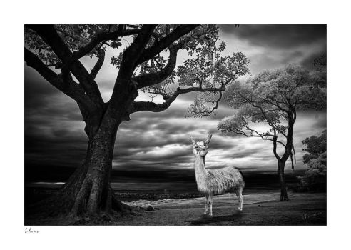 Rock on Llama by Wayman