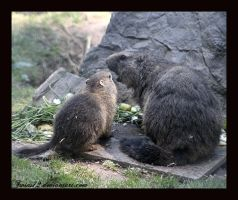 marmots by Twins72