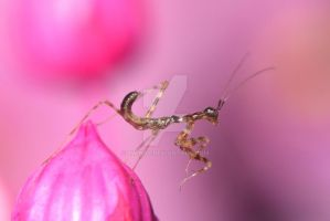 Miomantis paykullii by 5wing4