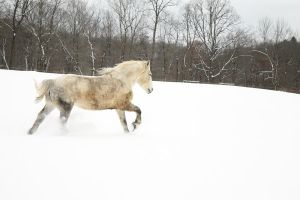 Percheron Snow Run by Rising-High-Ranch