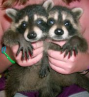 Baby Raccoons 1 by Femerithian
