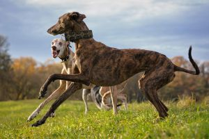 Dancing Galgos II... by Alyat