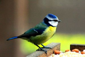 Blue Tit by Tinap