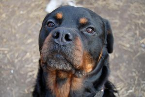 Max - rottweiler by MessiMutt