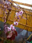 Plum Tree Spring 6 by LordNobleheart