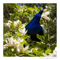 Magnolia and Peacock. by sekhmet-neseret