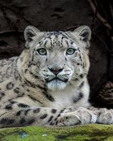 Snow Leopard by White-Voodoo