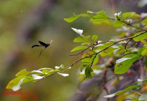 Thin-Waisted Wasp in Flight by sioranth