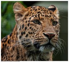 China Leopard by Reto