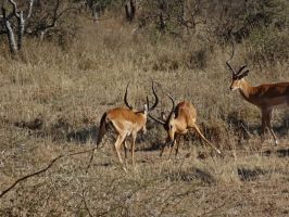 Impala Sparring III by Track-Maidens