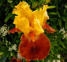 Yellow and Burnt Orange Iris by Earthmagic
