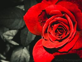 Perfect Rose by mandeax