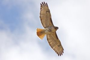 Red Tail Hawk by brentonbiggs