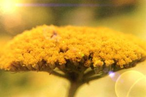 Yarrow Yellow by alltheantics