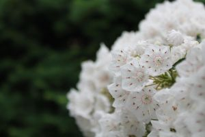 Mountain Laurel / White Blossoms by PhotoWeaver