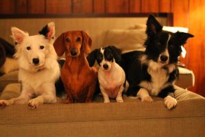 Doxie Collie Crew by DoxieCollie3