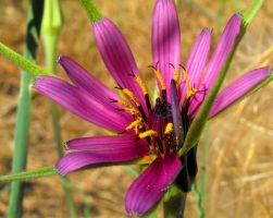 Salsify by floramelitensis